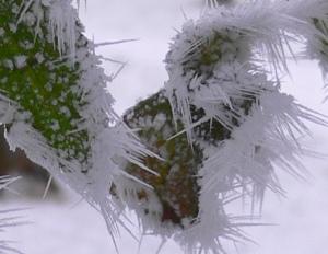 Roseblader med rimfrost.