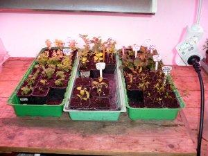 Alle stiklingplantene er plantet over i hver sin potte.