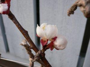 Aprikostreet første blomster har åpnet seg