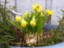 påskeliljer i veggpotta
