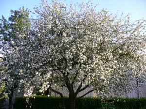 Filippa-tre (eple)  i full blomst.