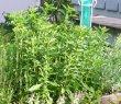 stevia i urtepallekarmen