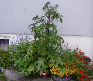 Solanum atropurpurea
