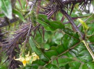 Solanum atropurpurea, nærbilde